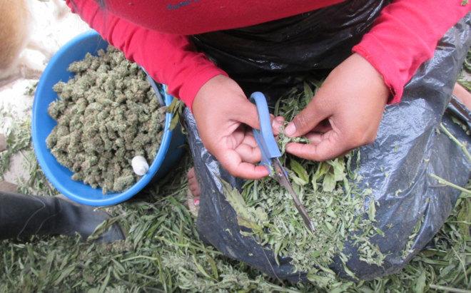 Portada  La siembra de la marihuana medicinal en Colombia