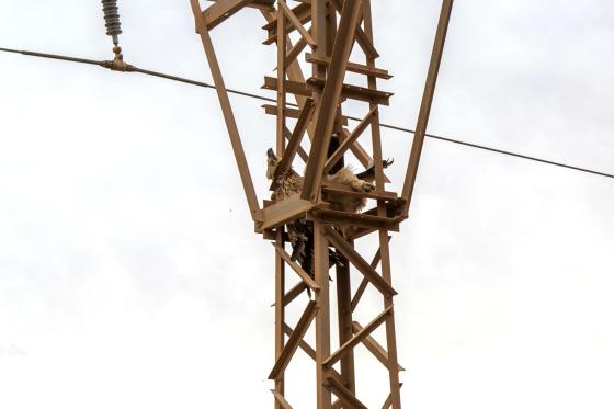 Animales Animales Las águilas imperiales vuelven a Marruecos y mueren electrocutadas